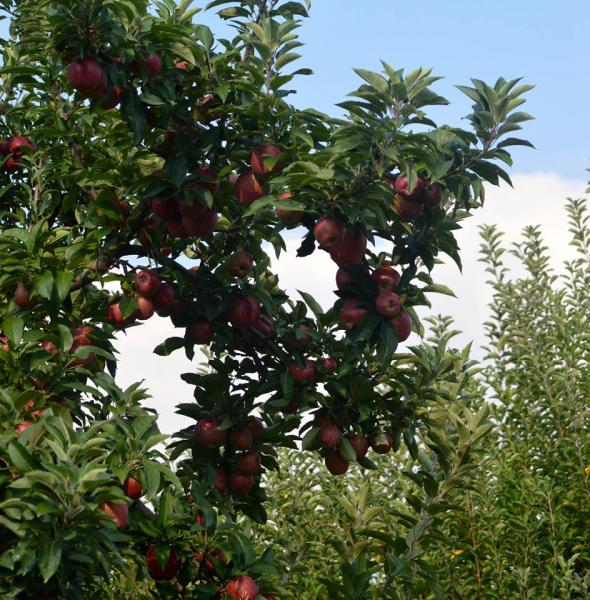 The Arkansas Black Apple was first produced in Benton County Arkansas in 1870. We have Arkansas Blacks waiting for you.]